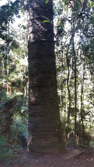 pinheirovelho