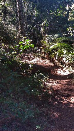 pinheirovelho01